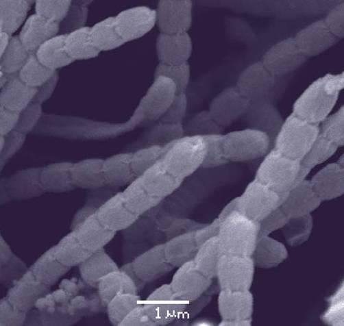 La publicación del trabajo en 'Journal of Bacteriology' ha servido para adelantarse a otros grupos internacionales que perseguían este mismo objetivo