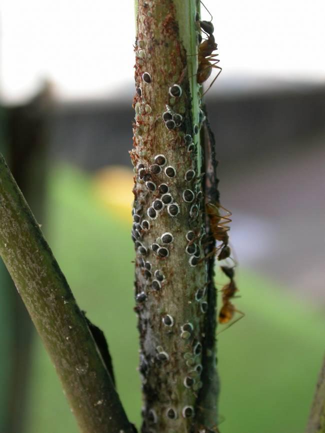 Las hormigas eliminan hongos y depredadores que amenazan a los pulgones y además los transporta.