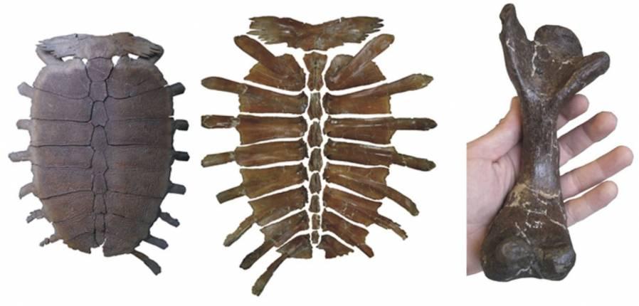Fósiles de la tortuga