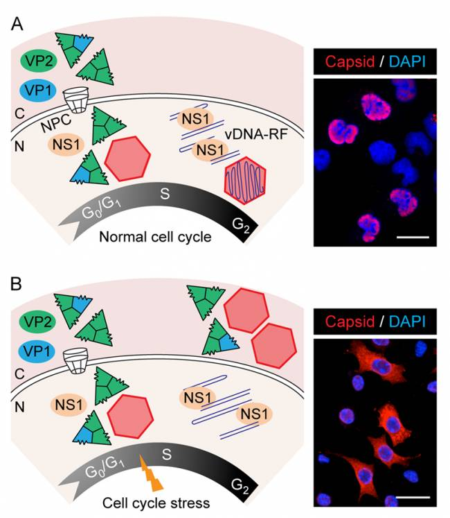 Descrito el papel regulador del ciclo celular en el ensamblaje y maduración de virus
