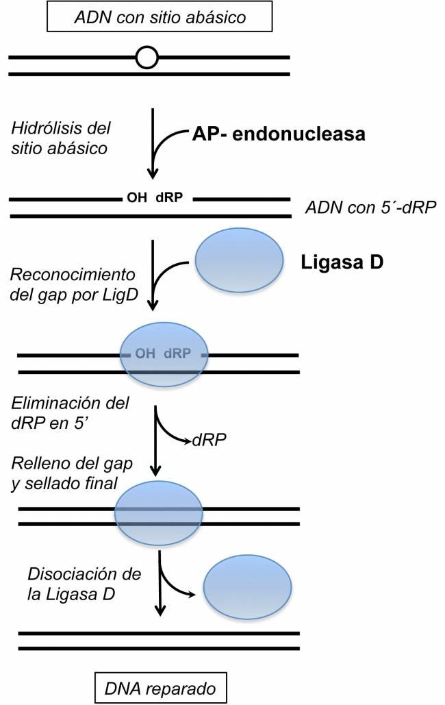 Descubren una nueva función en la Ligasa D bacteriana