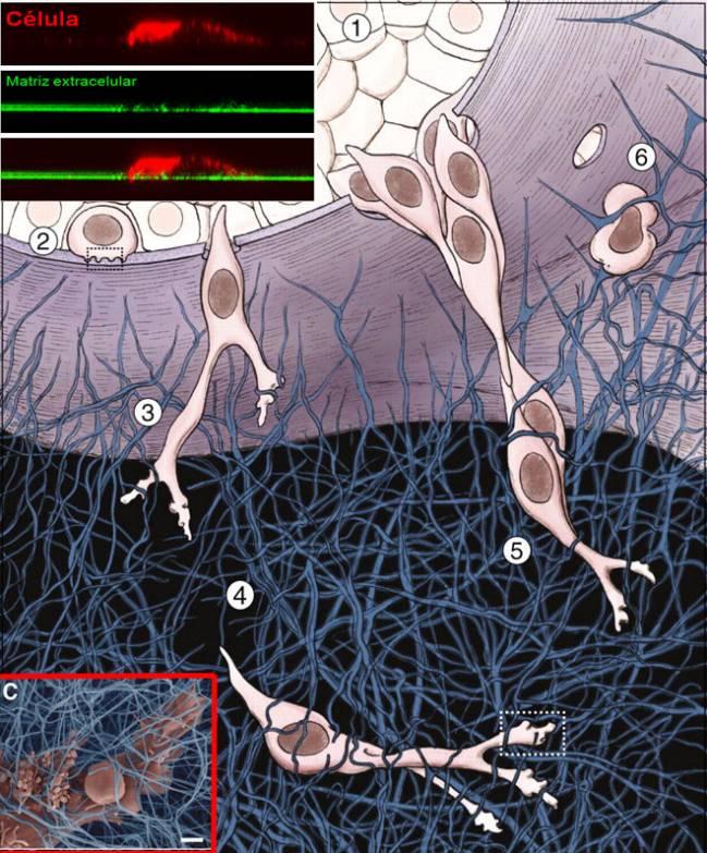 Esquema del proceso de invasión tumoral