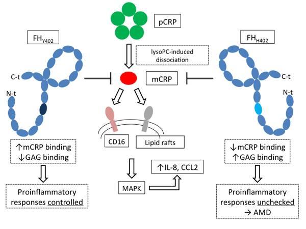Mecanismo de la respuesta inflamatoria inducida por la proteína C reactiva en DMAE  (Scientific Reports)