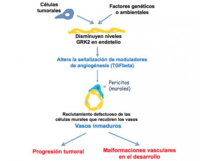 Descubierto un factor clave en la vascularización de los tumores