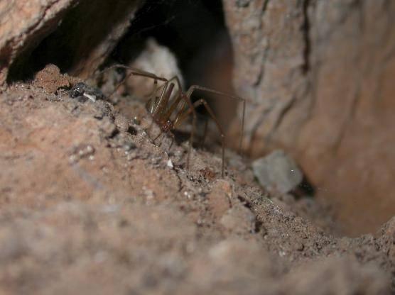 Son pequeñas arañas de color marrón, de hábitos nocturnos, cuerpo de aspecto piriforme y tres pares de ojos dispuestos en forma de triángulo.