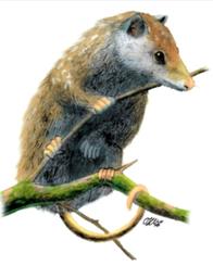 Ilustración de un Amphiperatherium frequens.