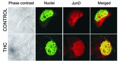 Proteína JunD