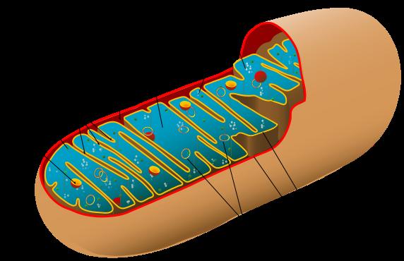Estructura de una mitocondria.