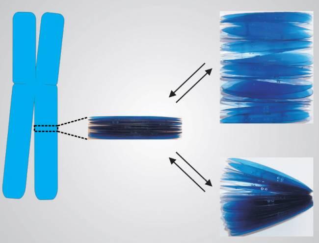 La estructura multilaminar de la cromatina explica la capacidad de autoreparación de los cromosomas después de estiramientos o doblamientos.