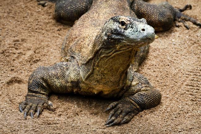 El dragón de Komodo tiene un aspecto similar al lagarto hallado. Imagen: Matthew Kenwrick.