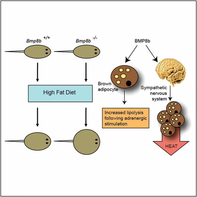 El nuevo artículo destaca el papel clave de la proteína morfogenética ósea 8B (BMP8B) en la regulación de la termogénesis en el tejido adiposo marrón