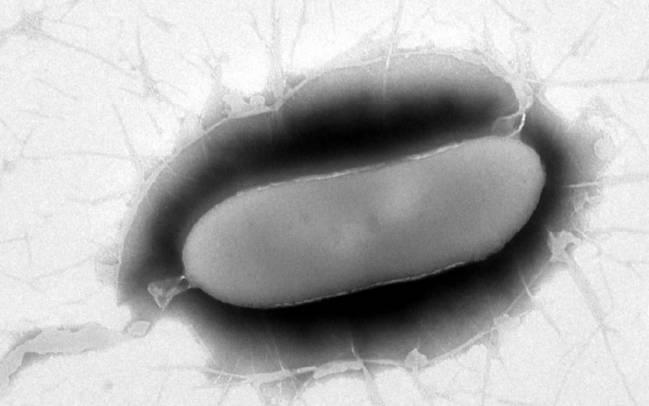 La nueva bacteria es de gran interés por sus relaciones con otros microorganismos
