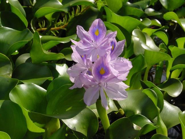 Flor del camalote
