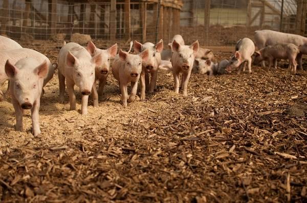 Cerdos analizados en este estudio. / Brian Johnson & Diane Kantner