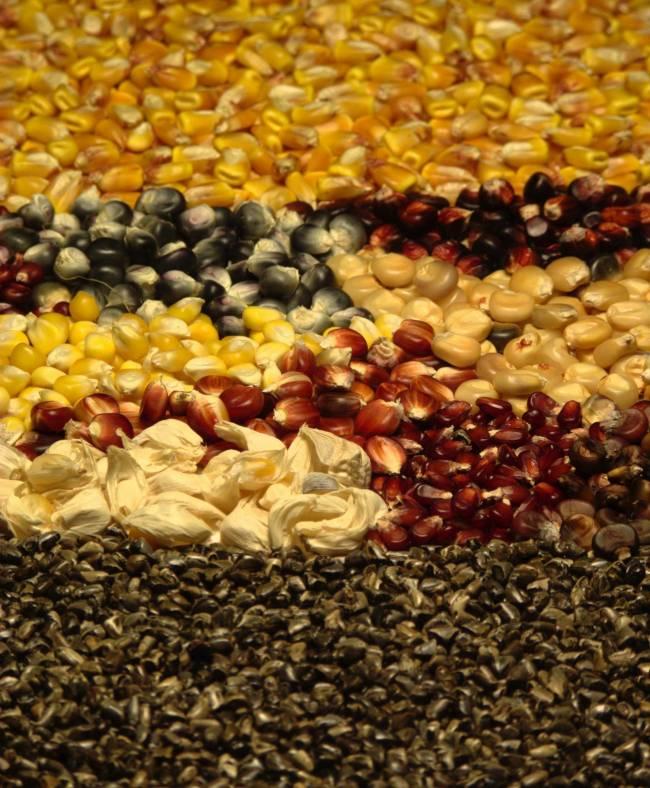 Semillas de maíz silvestre, criollo y domesticado. Se ve la evolución ha seleccionado la uniformidad de las semillas.