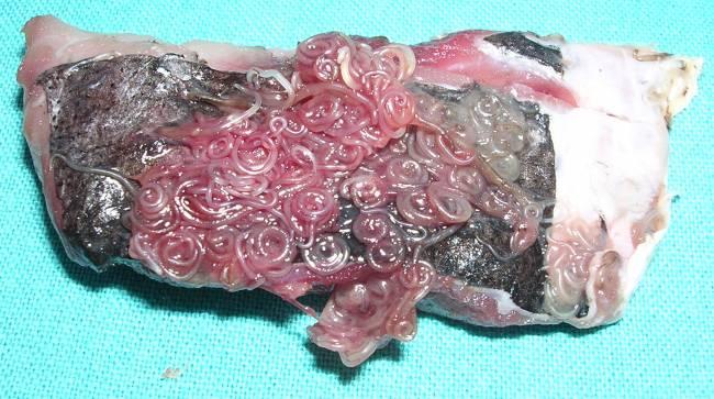 Larvas de anisakis sobre merluza. / Javier Arias Díaz.
