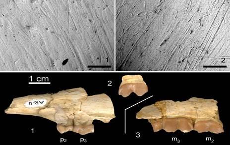 Dentición del antílope Tethytragus langa