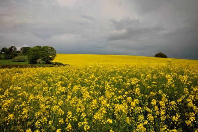 Cultivo dedicado a la producción de biocombustibles