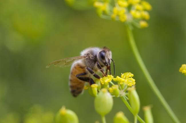 La abeja de la miel recolecta polen de numerosas especies de plantas. / Gudlyf.