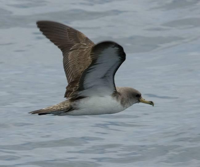 La contaminación por plásticos es una amenaza para las aves marinas de latitudes de todo el mundo. En la imagen, fragmentos de plásticos encontrados en los albatros en la isla de Hawai. Foto: Jacob González-Solís, UB-IRBio