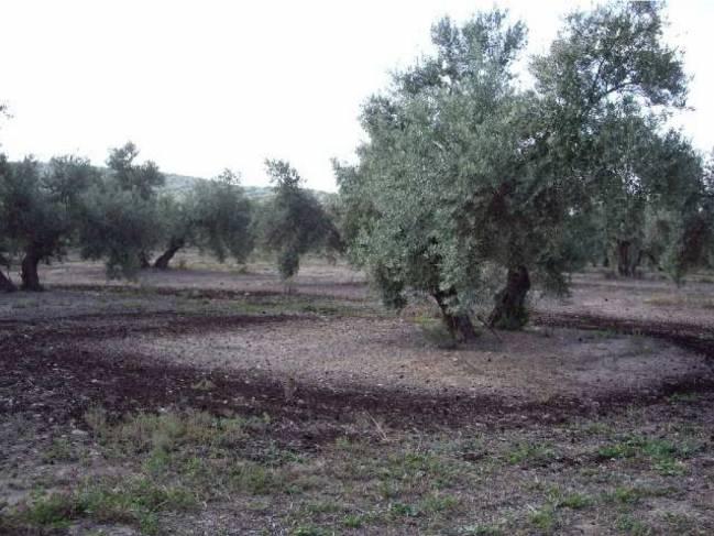Panorámica del olivar tras aplicación de compost de alperujo / Fundación Descubre