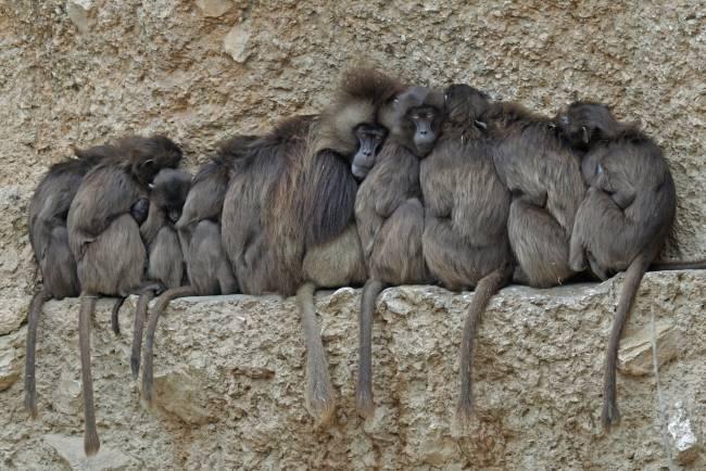 Grupo de babuinos