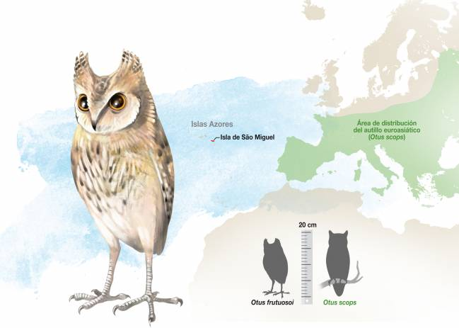 Otus frutuosoi está filogenéticamente emparentada con el Otus scops o autillo europeo. / J. A. Peñas
