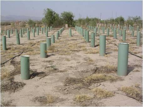 Parcela de ensayo con ambos tratamientos: plantación profunda (izquierda) y superficial (derecha). Foto: Juan A. Oliet