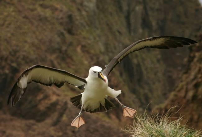 Albatros en la costa
