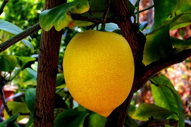 Limón bajo estrés. / Pixabay