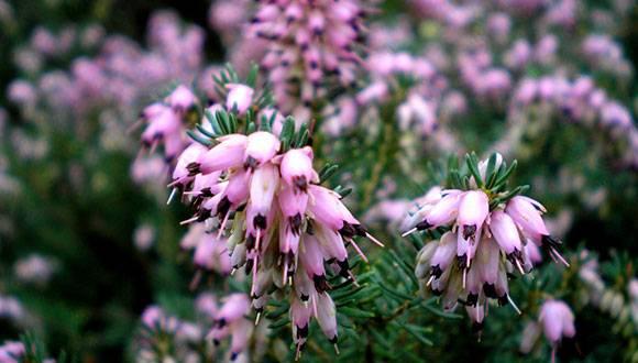 Erica Multiflora (Brezo de invierno)