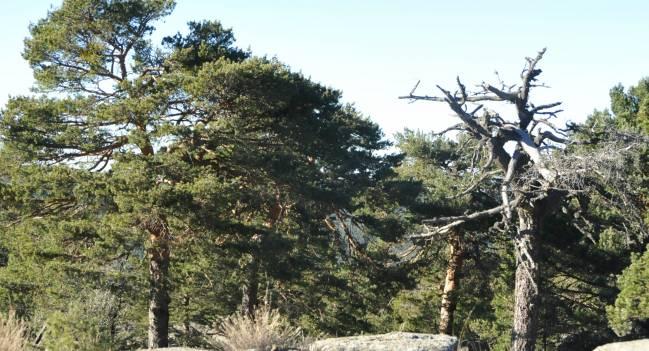 Pinos silvestres en la vertiente madrileña de la Sierra de Guadarrama. / CSIC