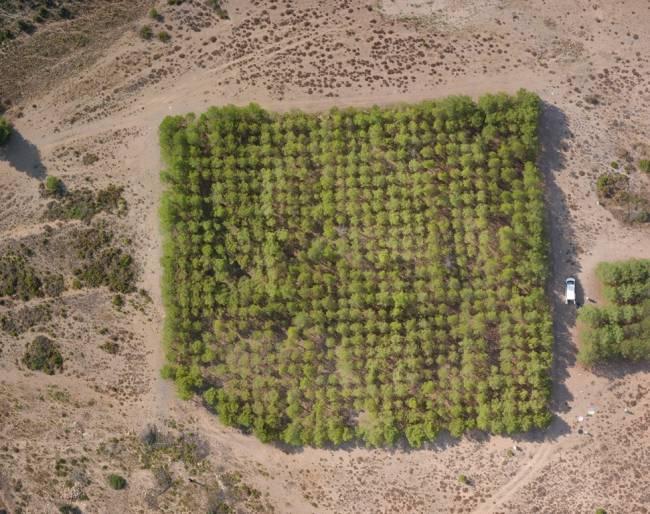Ensayos de pino carrasco