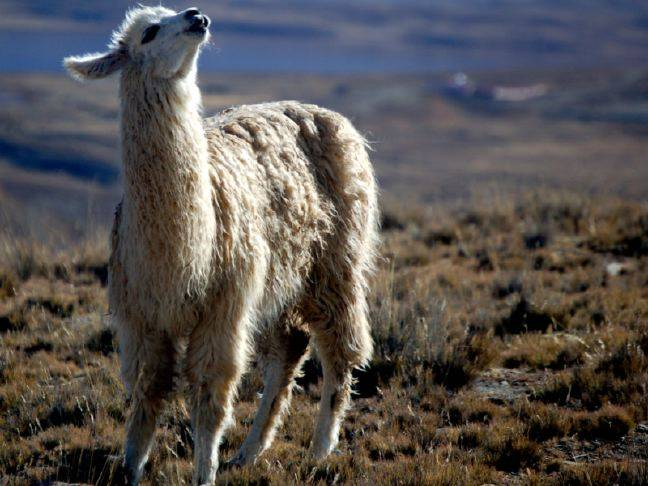 Llama. Chistopher Walker-UCC