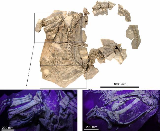 Fotografía del fósil de Concavenator, con dos ampliaciones de las extremidades, obtenidas con luz ultravioleta. | UAM-UNED