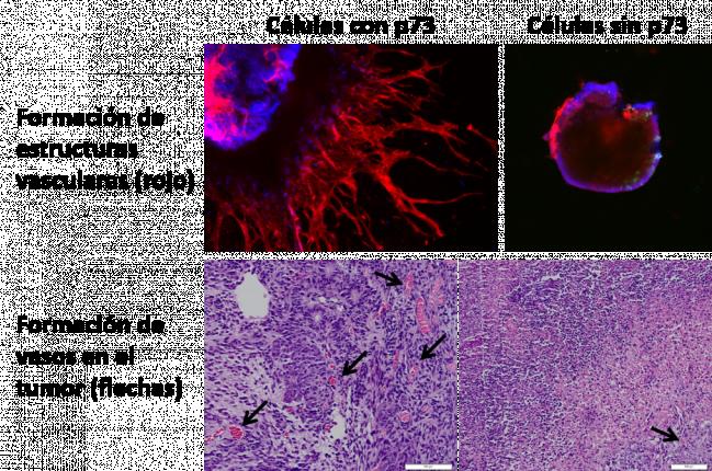 El gen p73 es necesario para la formación de vasos sanguíneos, tanto nuevos (vasculogénesis) como a partir del lecho vascular (angiogénesis)