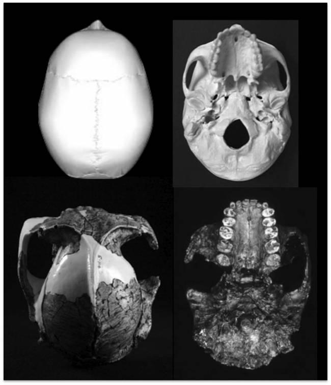 Vstas superior e inferior del cráneo OH5 (izquierdaParanthropus boisei); a la derecha, mismas vistas de un cráneo de Homo Sapiens.