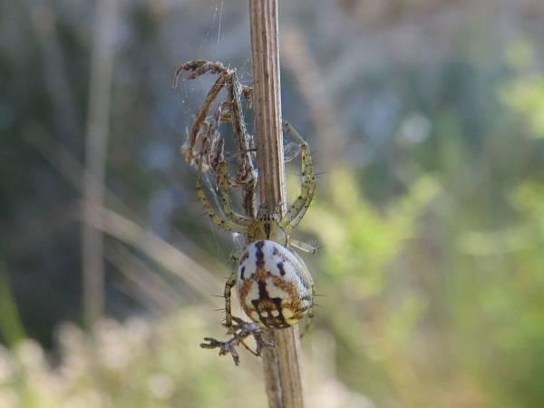 El equipo científico ha estudiado un total de 20.539 ejemplares de diferentes especies de arañas ibéricas (foto: Mangora acalypha/ Marc Domènech, UB).
