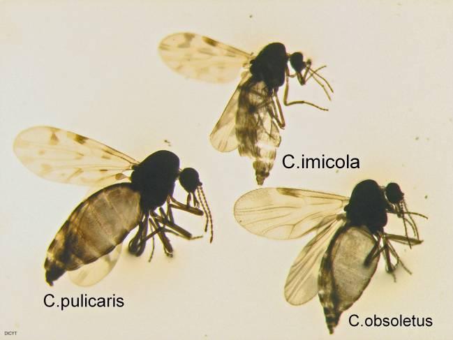 Especies de mosquito estudiadas durante las investigaciones.