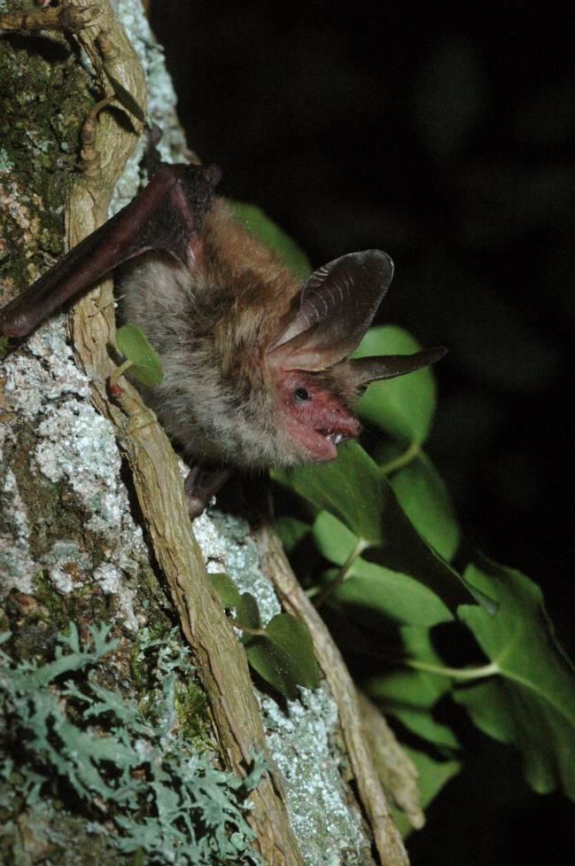 El murciélago Bechstein.