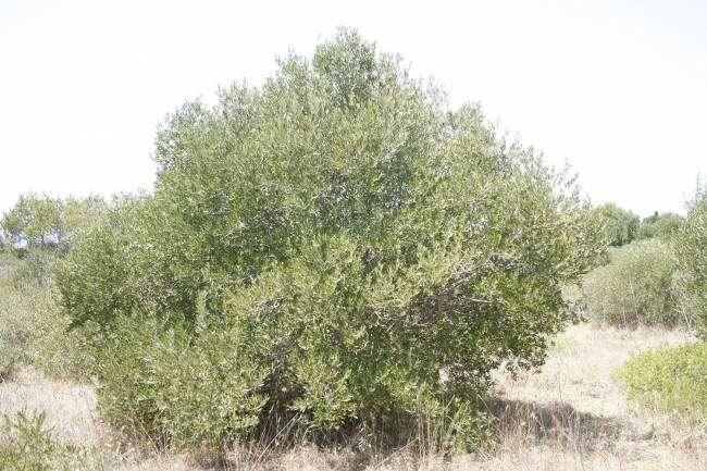 Ejemplar de olivo silvestre de Menorca / Ana Vázquez.