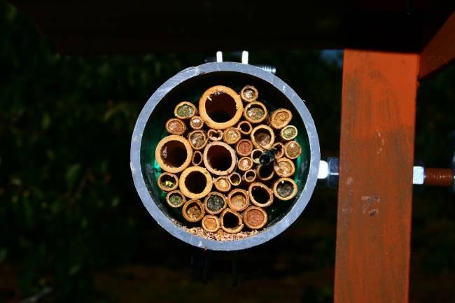 Una investigación de la Universidad de Salamanca revela que la disponibilidad de recursos hace que la abeja 'Osmia caerulescens' tenga más o menos hembras o machos