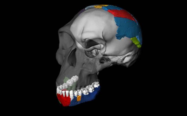 Reconstrucciónen 3D del cráneo de de un 'Homo habilis' a partir de los fósiles de la garganta de Olduvai. / Philipp Gunz, Simon Neubauer & Fred Spoor