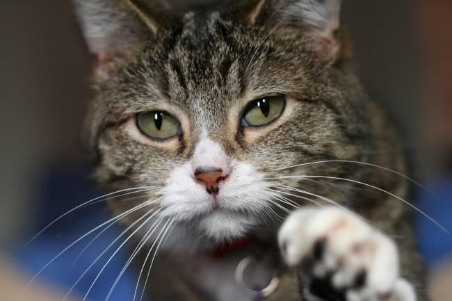 Los 600 millones de gatos domésticos en el mundo actual descienden del gato Felis silvestris líbica