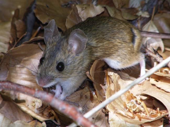 Ejemplar de ratón de campo