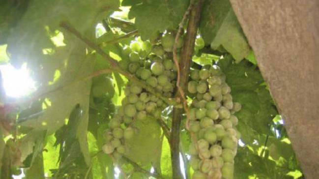 El resveratrol se halla de forma natural en frutas como las uvas o algunas plantas (imagen: CSIC).