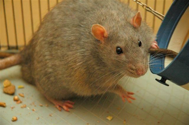 Rata tratada con salvado de arroz