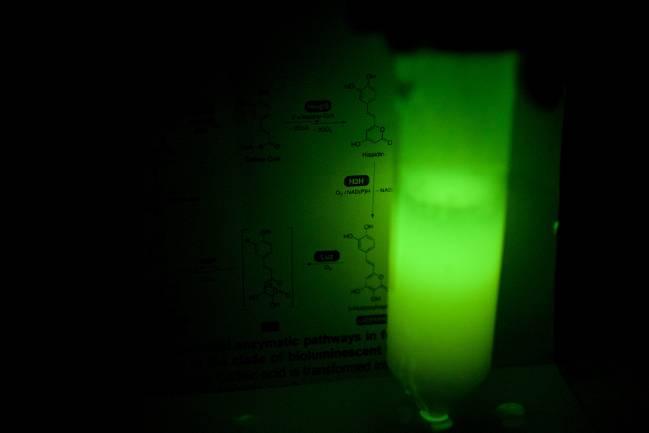 Células de levadura bioluminiscentes