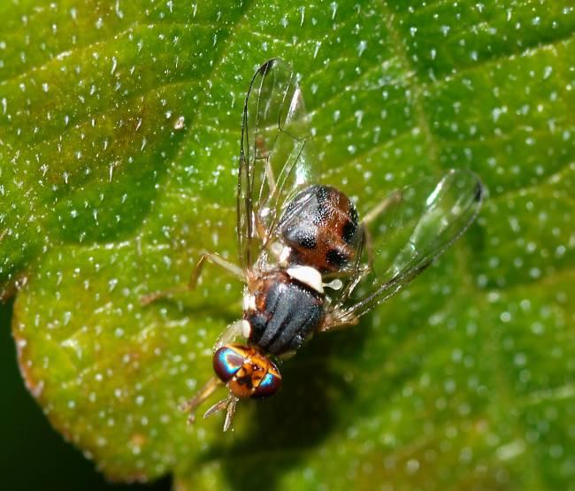 La mosca Bactrocera oleae es la principal plaga del olivo. / Alvesgaspar.