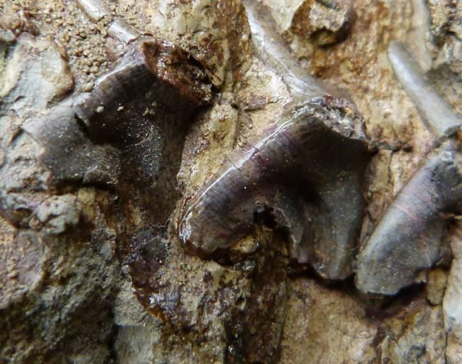 Restos en la roca de los fósiles encontrados